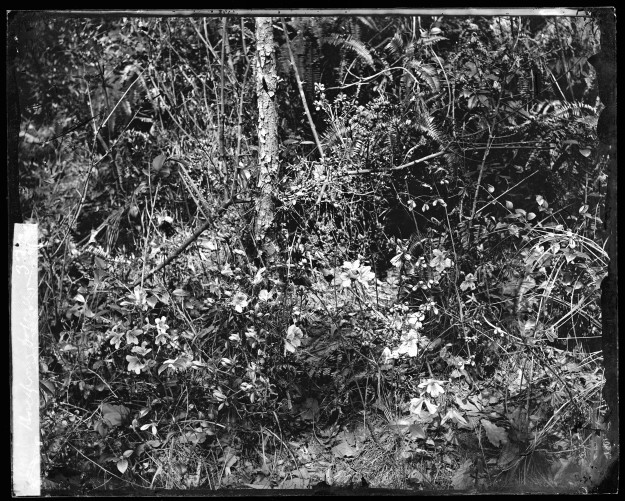 L0055621 Foliage, Hong Kong. Photograph by John Thomson, 1868/1871.