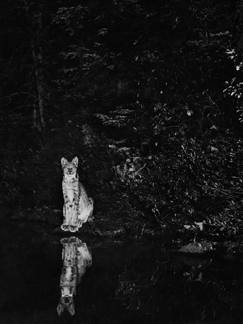 georgeshiras-lynx